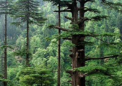 Majestic old forest tree at risk